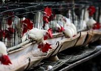 México detecta vírus H7N3 em 12 granjas