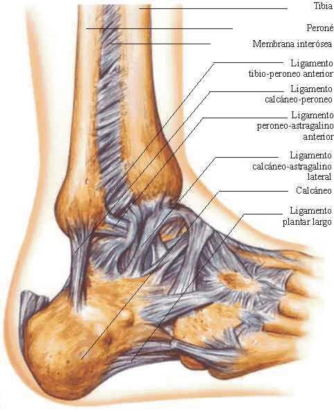 Rehabilitación de lesiones deportivas en tobillo: Anatomía de la ...