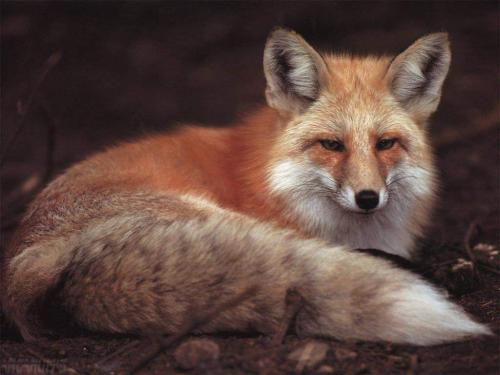 funny wallpaper red fox - photo #25