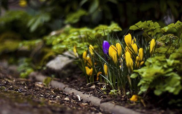Gele krokussen in de tuin met de lente