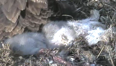 sleeping eaglets