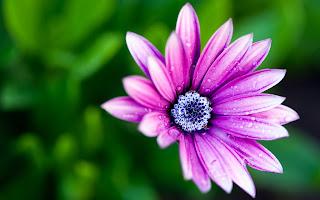 Purple Wet Daisy Flower