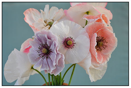 Mother of Pearl strain of Shirley Poppies