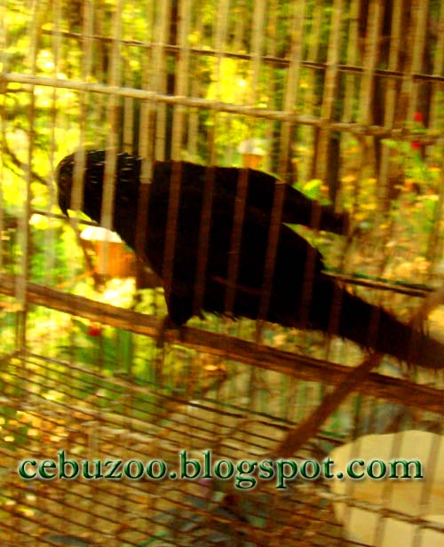 Cebu Zoo Black Parrot
