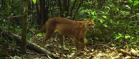 Belize Puma in the jungle of Belize