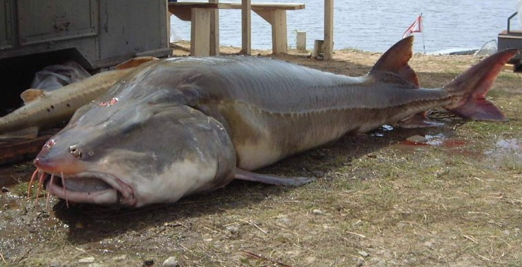 Big Fishes of the World: STURGEON KALUGA (Huso dauricus)