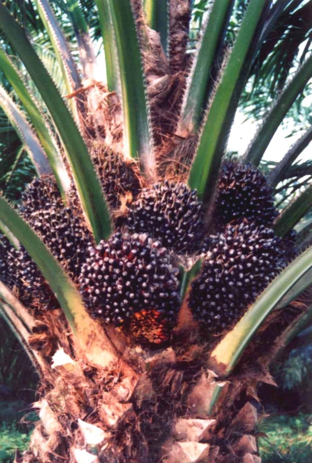 Syarat tumbuh kelapa sawit