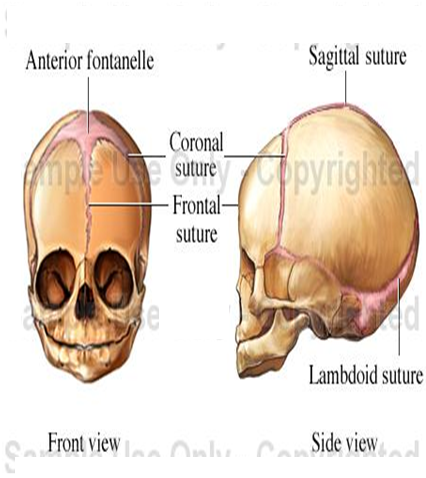 Fetal Skull Ppt Fetal Skull Changes in Labour