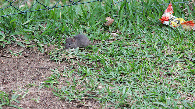 black isola mauritius isle isole maurizius bird birdwatching mouse