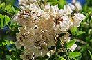 13 Fotografías, de las flores de la acacia