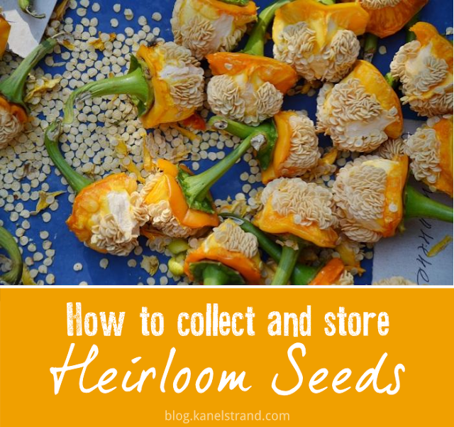 How to collect and store heirloom seeds via @kanelstrand