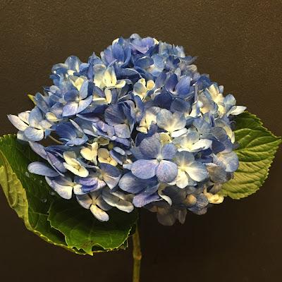 Blue Hydrangea - Stein Your Florist Co.