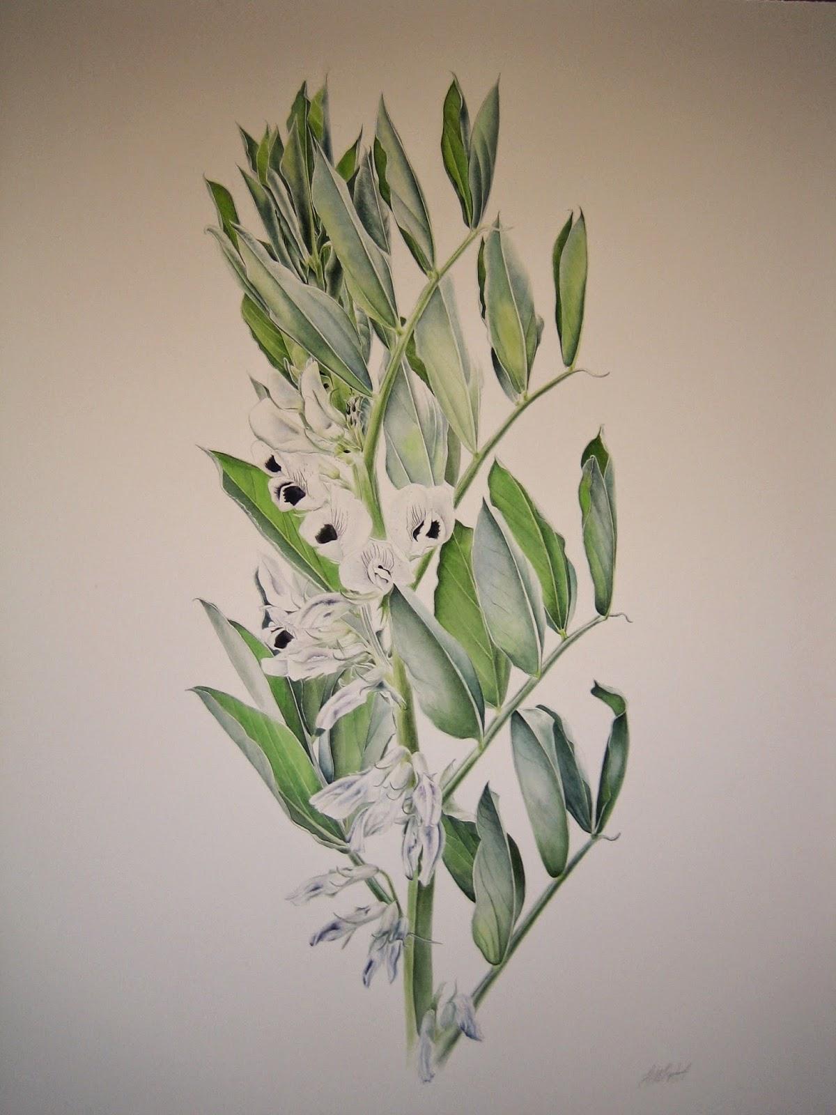 Broad Bean - Vicia faba