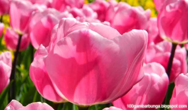 Gambar Bunga Tulip; Morfologi, Jenis, dan Manfaatnya