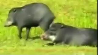 2- Babi Hutan Meksiko