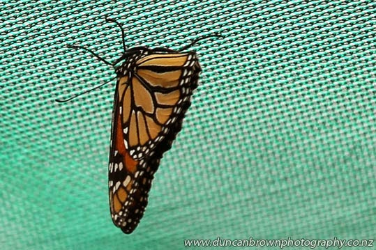 Everyone's favourite, the monarch butterfly photograph