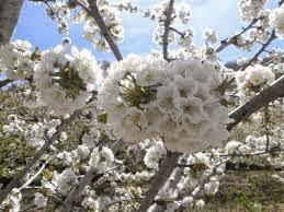 CHERRY flowers... - 21 Marzo 2015 -