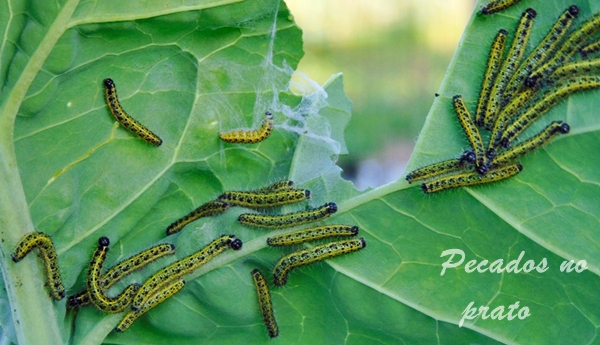 Combate da lagarta da couve