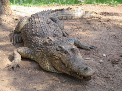 Heavy and Danger Crocodile in Natural Environment