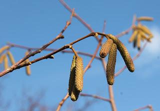 осеннее цветение фундука