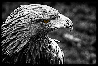 A close up of an eagle in black and white