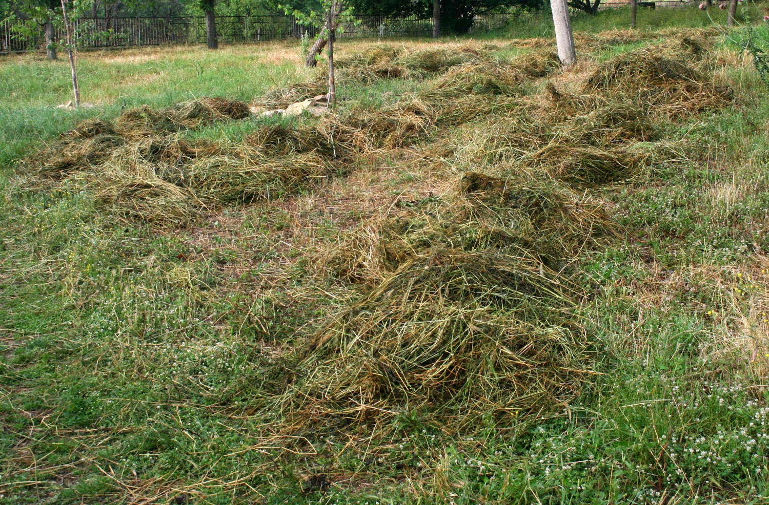 Spreading the hay to dry. Again.