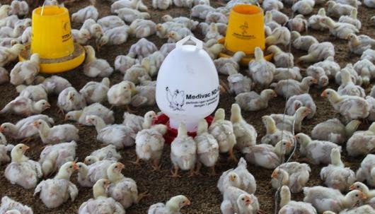 Peluang Usaha Bisnis Ternak Ayam Potong Mudah Image