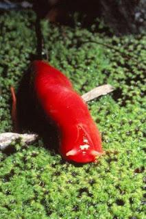 Lintah merah