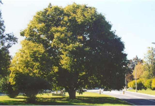 Árvore de Interesse Público em Lisboa