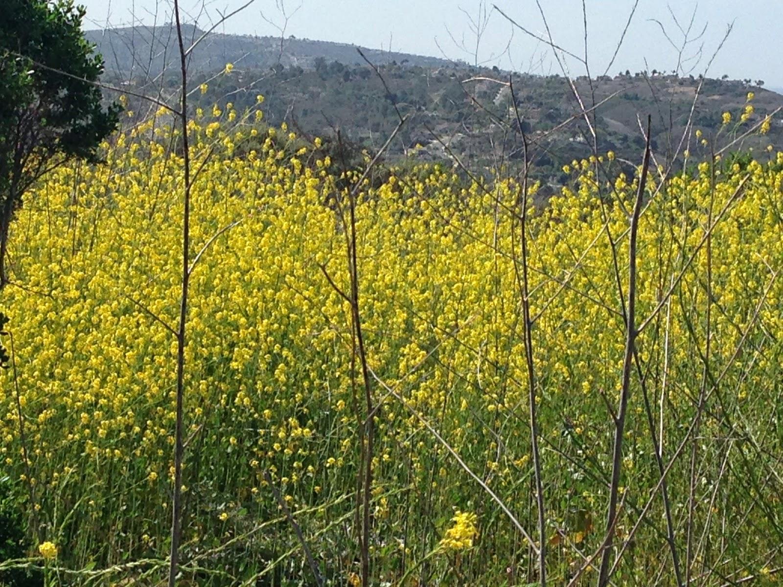 Trailside Mustard San Juan Capistrano