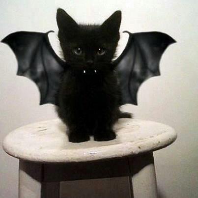 gatinho morcego