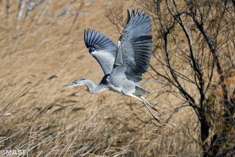 http://www.redbubble.com/people/masf/works/11412575-garza-real-heron-bird?ref=work_main_nav