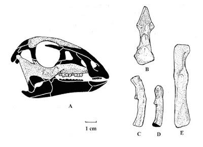 Leaellynasaura skull