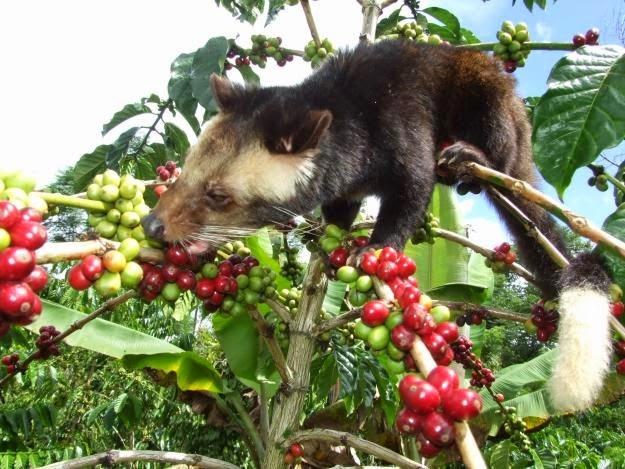 Sejarah kopi luwak kopi telek musang yg membuat melek dunia