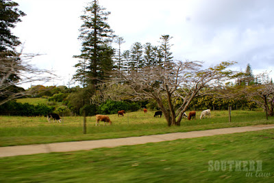 Cows on Norfolk Island