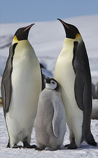 6 Emperor Penguins %Category Photo