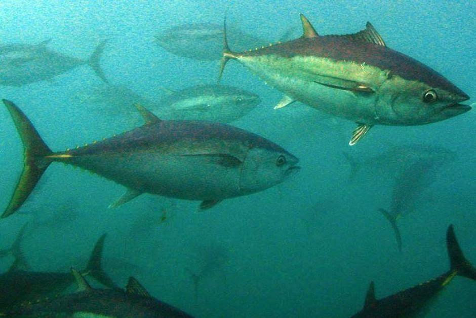 Risiko: ikan tuna yang berenang dari Australia