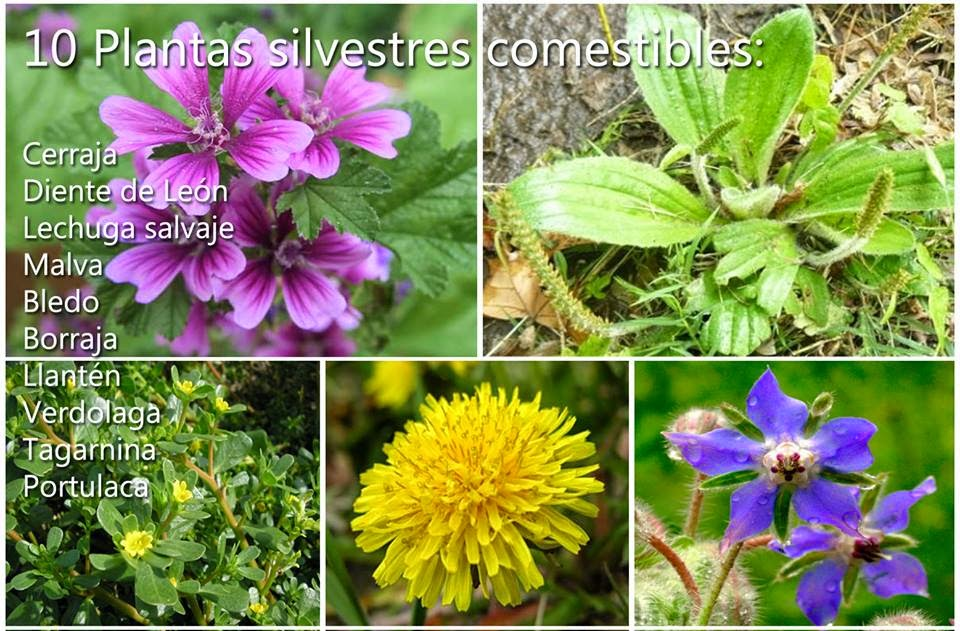 Patilocos: 10 plantas silvestres comestibles