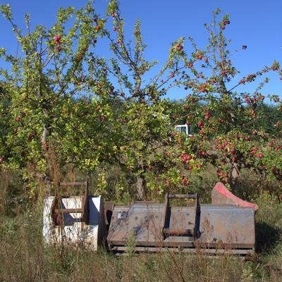 Grävskopor bland äppelträden