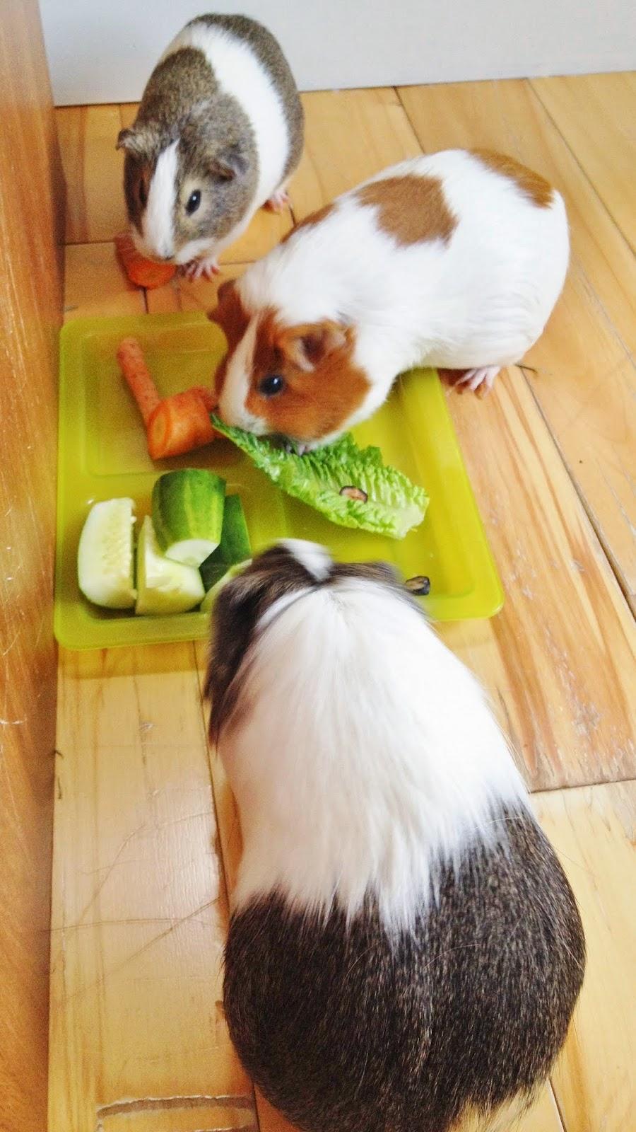 Guinea Pigs eating breakfast