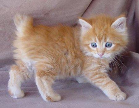 Polydactyl bermaksud kucing yg mempunyai tapak kaki yg