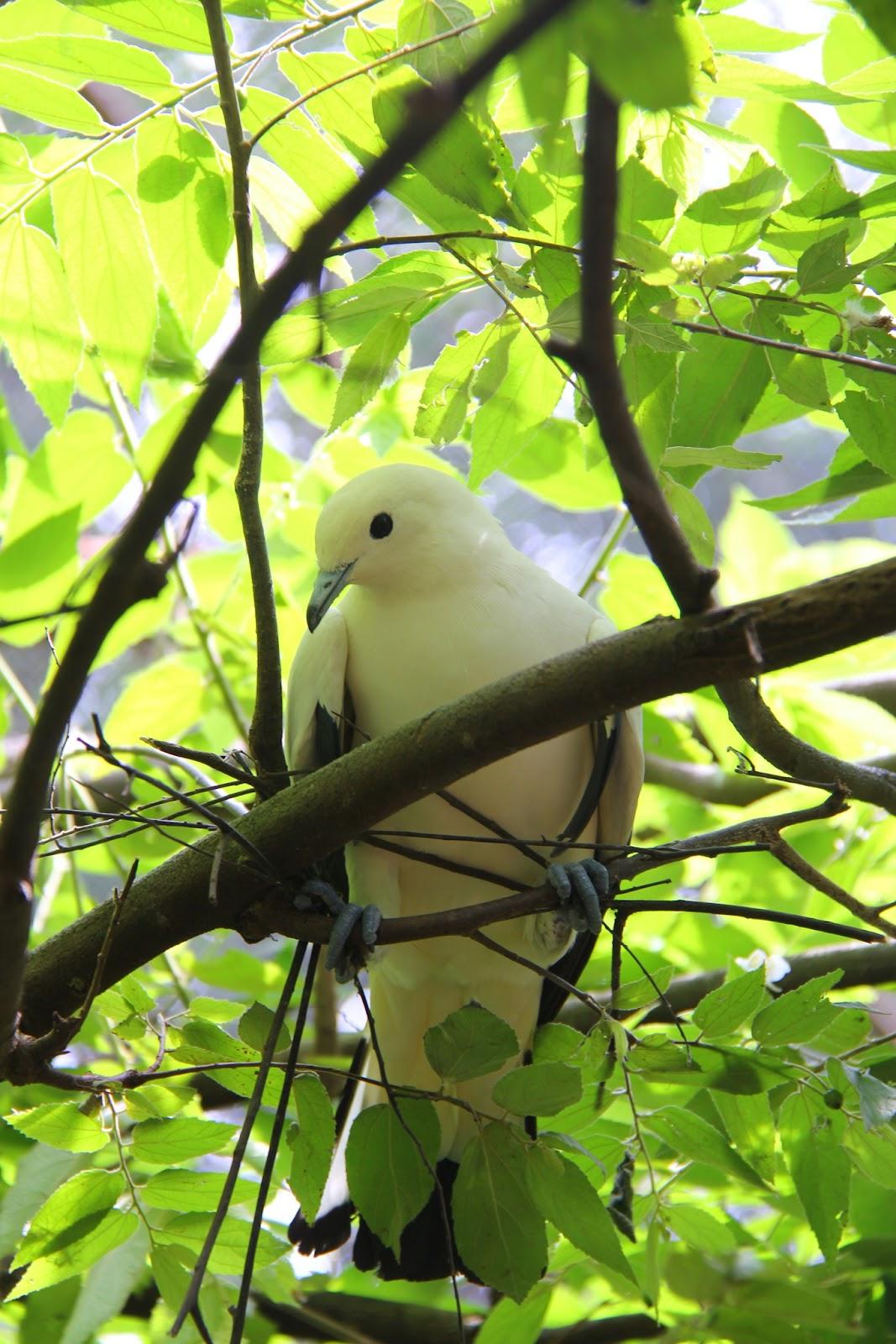 Burung Pergam Rawa sembunyi