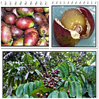 manfaat buah matoa papua