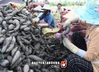 Trung Quốc đột nhiên thu mua khoai lang giá cao gấp 6 lần thị trường