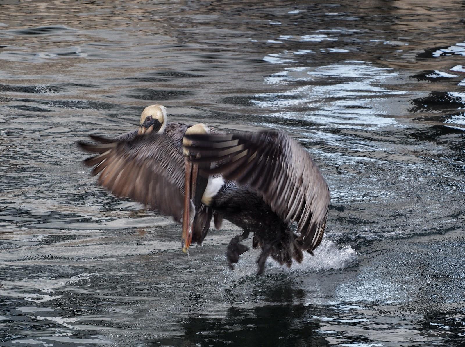 Landing, #pelican #pelicans #keywest #florida 2014
