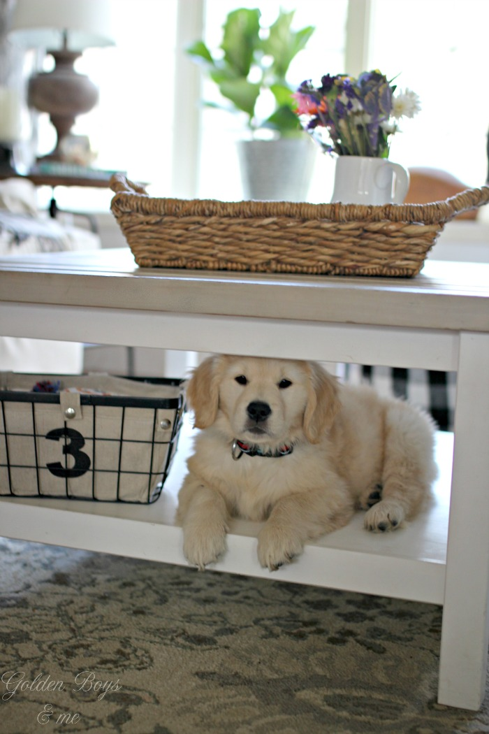 Golden Retriever puppy on shelf under coffee table - www.goldenboysandme.com