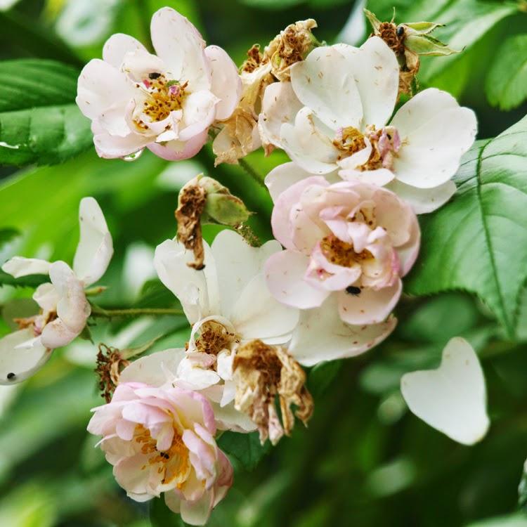 Gigantrose Brenda Colvin er en smuk og livskraftig rose