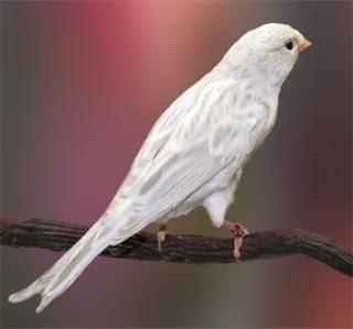 Burung Kenari - Solusi Penangkaran Burung Kenari -  Kode Ring Kenari Import Pada Negara Irlandia