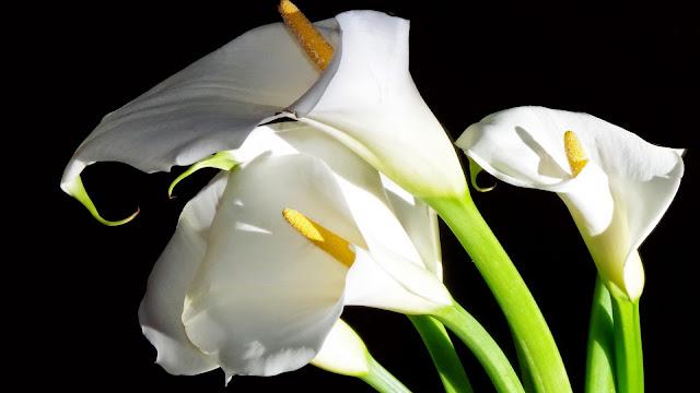 Fondo de Flores Cala Lirios de agua