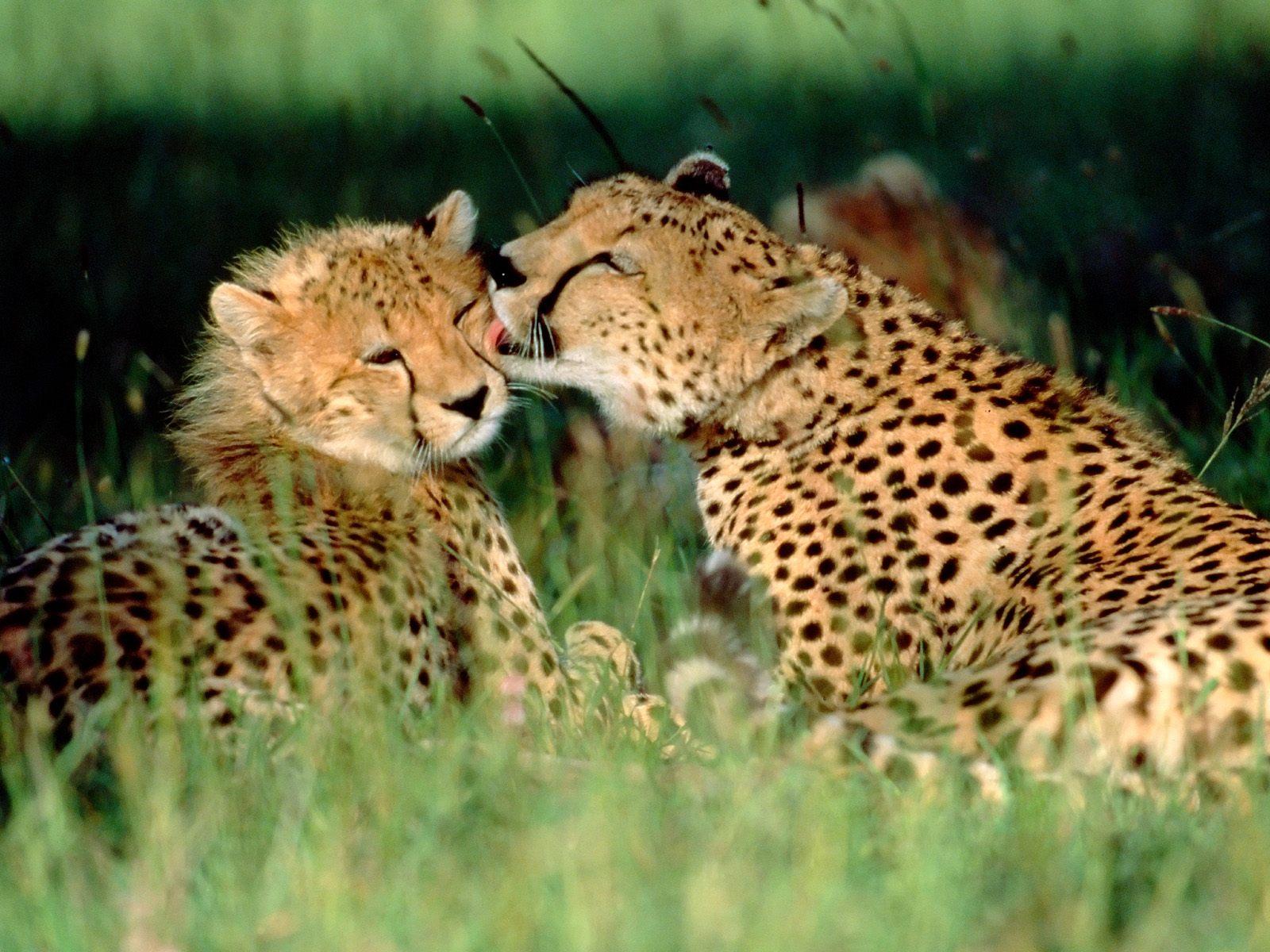 Affectionate Cheetahs HD Wallpapers 1 Ewallpapers Hub - affectionate cheetahs wallpapers